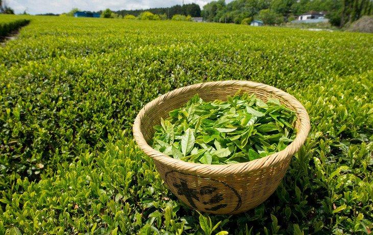 На Кубани в 2016 году собрали 446 тонн чайного листа