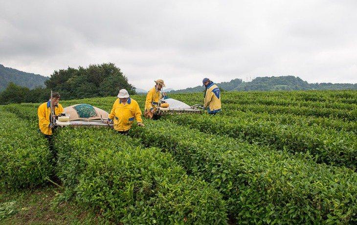 Инвестор готов вкладывать деньги в восстановление сочинских чайных плантаций