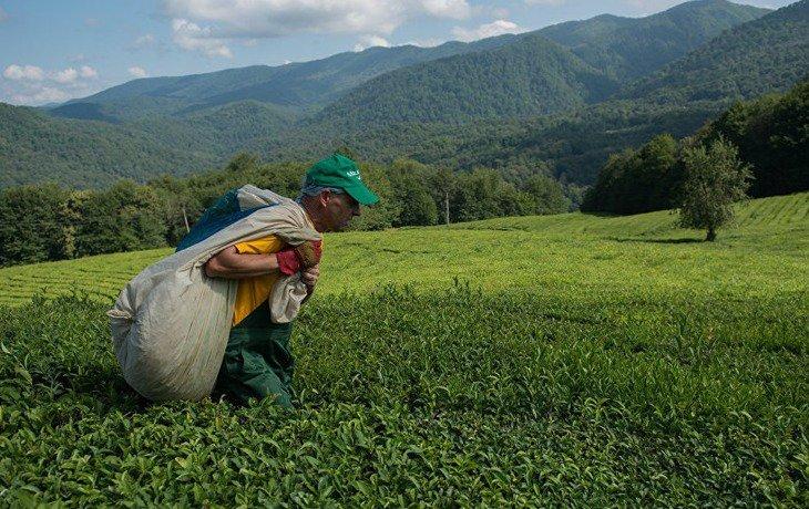 Сочинские чаеводы приступили к обрезке кустов чая